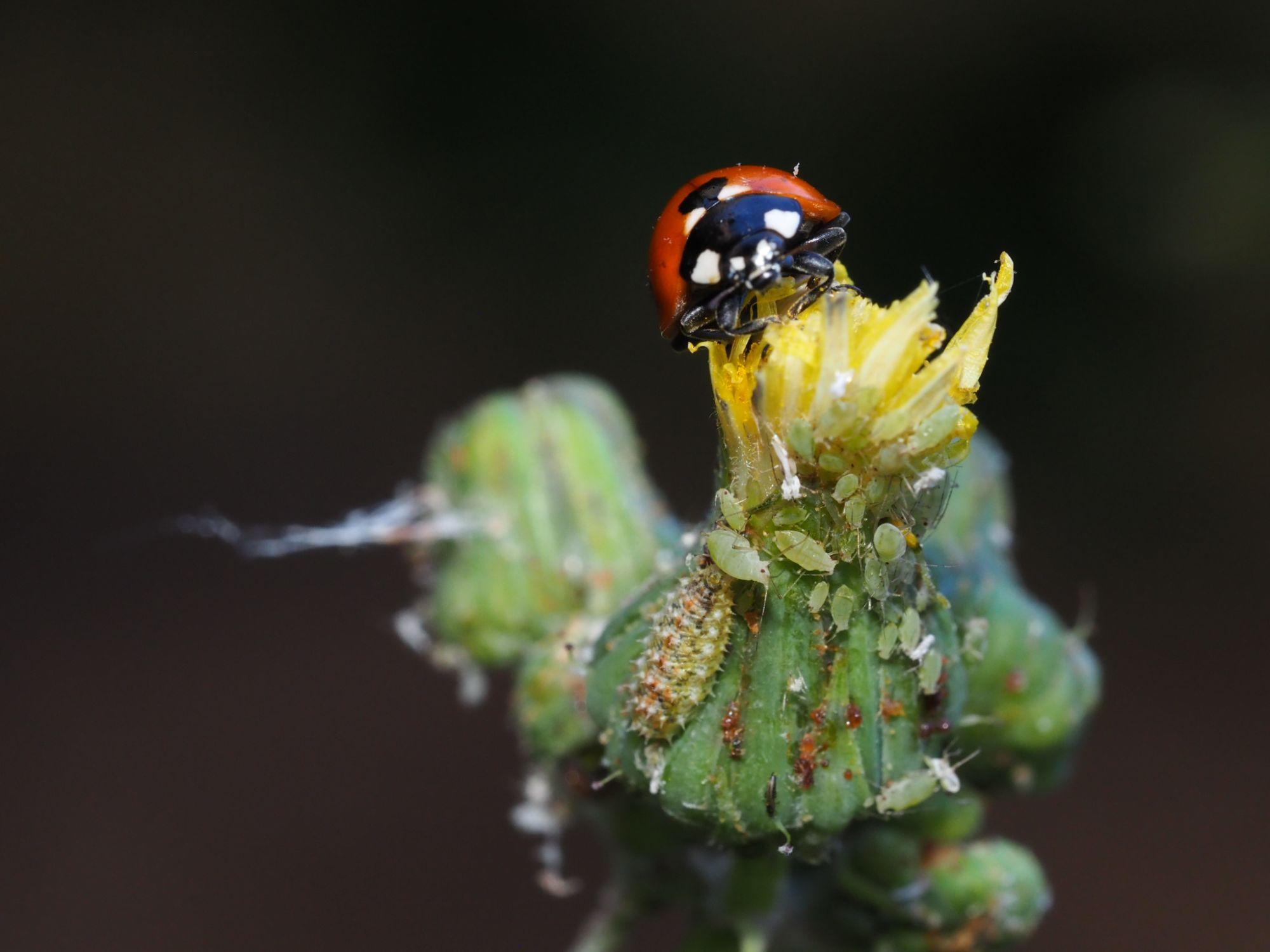 larva-de-sirfido-del-genero-paragus-junto-a-varios-pulgones-y-una-mariquita.autor-guillermo-gonzalez-bornay.jpg